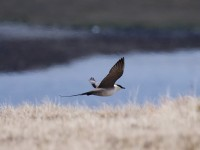 long-tailed-skua-img_3997