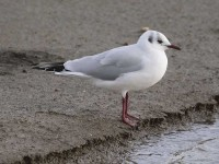 01-162011black-headed-gull