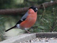 03-062011bullfinch-male