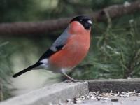 03-062011bullfinch-male
