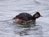 04-022011black-necked-grebe