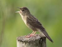 04-242011grasshopper-warbler