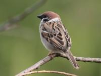 05-152011tree-sparrow-10410320