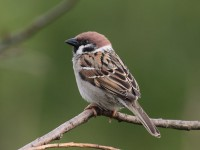 05-152011tree-sparrow