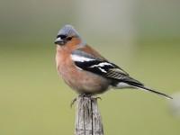 06-222011chaffinch-male
