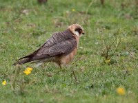 06-222011red-footed-falcon