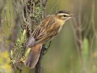 06-262011sedge-warbler