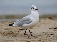 09-082011blk-headed-gull