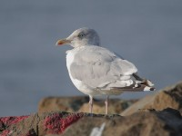 09-282011herring-gull