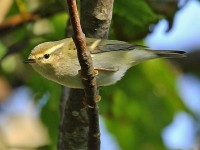 09-282011yellow-browed-warbler