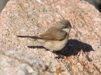 10-212011east-asian-lesserwhitethroat