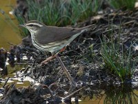 10212011northern-waterthrush