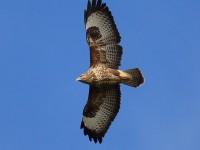 11-052011common-buzzard