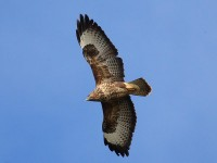 11-052011common-buzzard