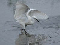 3152-little-egret0570