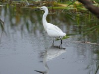 3164-little-egret0561