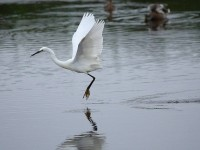 3171-little-egret0563