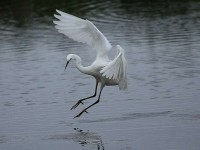 3174-little-egret0560