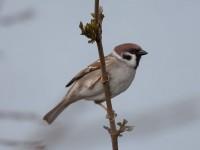 tree-sparrowimg_1278