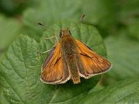 018-largeskipper