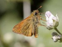 019-largeskipper2
