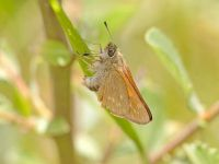 020-largeskipper3