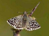 021-grizzledskipper