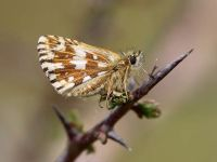 022-grizzledskipper2