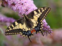 026-swallowtail