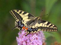 027-swallowtail2