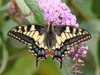 028-swallowtail3