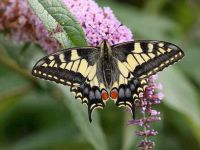 029-swallowtail4