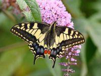 030-swallowtail5