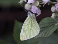 049-green-veinedwhite