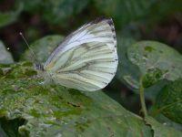 050-green-veinedwhite2