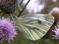 051-green-veinedwhite3