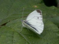 052-green-veinedwhite4