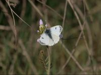 057-orange-tip-female2