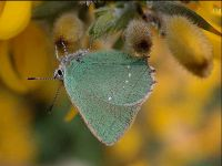 058-green-hairstreak