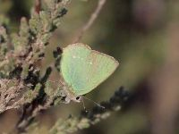 059-green-hairstreak2