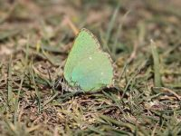 060-green-hairstreak3