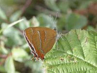 061-brown-hairstreak