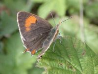 062-brown-hairstreak-female