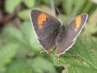 063-brown-hairstreak-female2