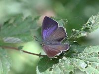 064-purple-hairstreak-female