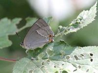 065-purple-hairstreak-female2