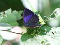 066-purple-hairstreak-female3