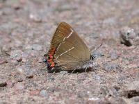 067-white-letter-hairstreak