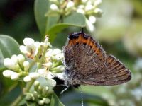 068-black-hairstreak