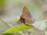 069-black-hairstreak2